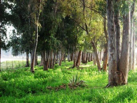 Paseo de los eucaliptos
